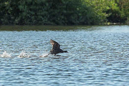 Coot walking on water by Scott Lyons