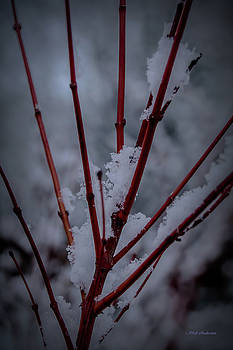 Coral Maple in Winter by Mick Anderson