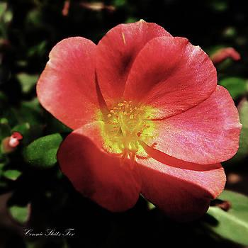 Coral Sedum Flower by Connie Fox