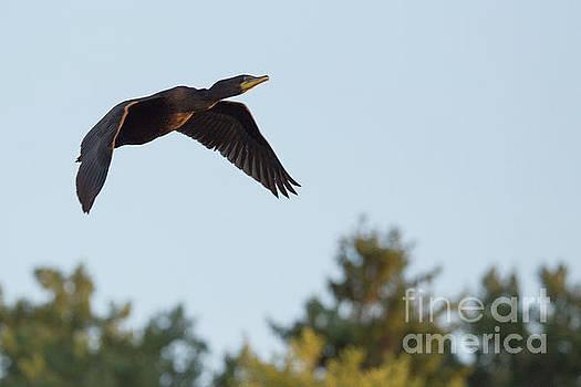 Cormorant in Flight by Nikki Vig