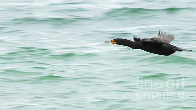 Cormorant In Flight by Sharon Mayhak
