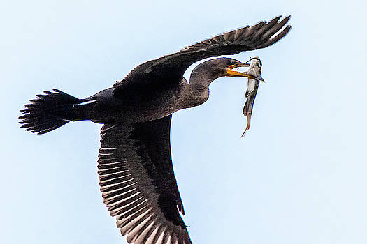 Cormorant with catch by Gary E Snyder