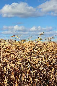 Corn Field in Fall by Iris Russak