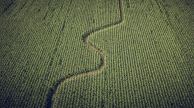 Corn Field by Steve Stanger