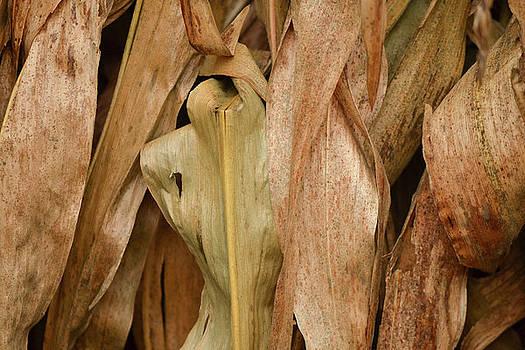 Corn Stalks by Michael Hills