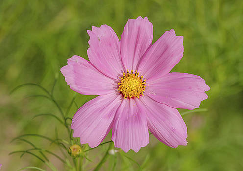Cosmos by Donna Collins