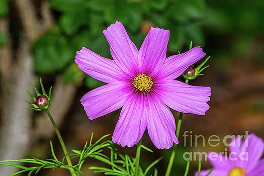 Cosmos Flower by Marv Vandehey