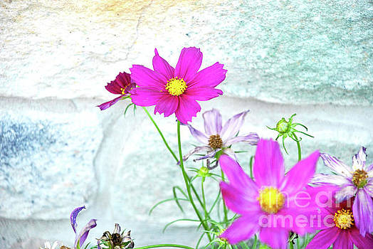 Cosmos in Bloom by Lori Moon