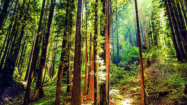 Cowell Redwood State Park by Petros illustrations