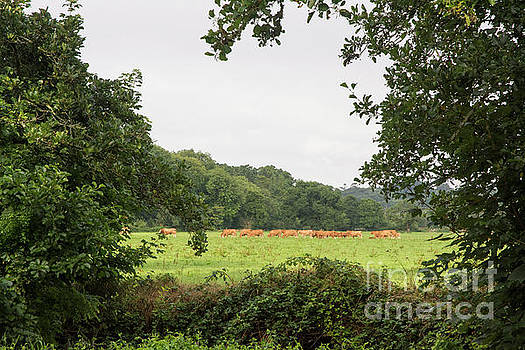 Cows in the Pasture by Ruth H Curtis