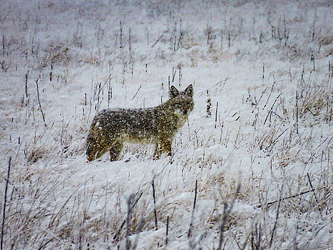 Coyote in a snowstorm by Kelly Kennon