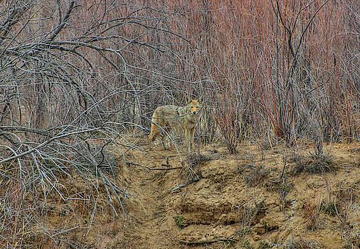 Coyote in the Brush by Britt Runyon