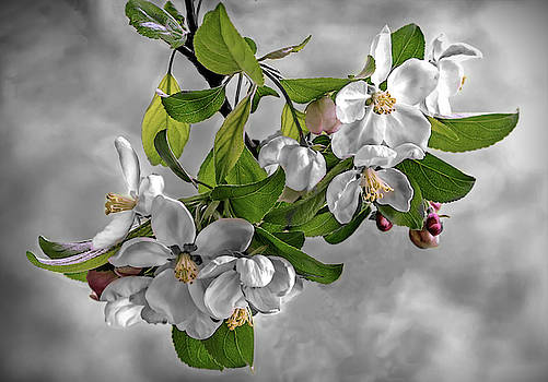 Crab Apple Blossom II  by Mary Lynn Giacomini