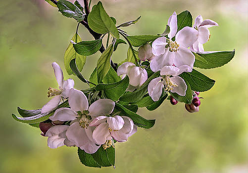 Crab Apple Blossom  by Mary Lynn Giacomini