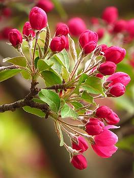 Crab Apple Blossoms  by Lori Frisch