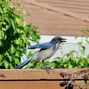Crabby Blue Jay by Phyllis Kaltenbach