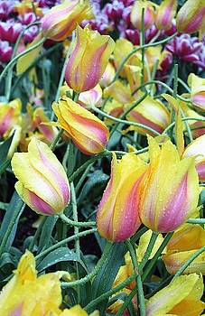 Crazy Tulips by Susie Rieple