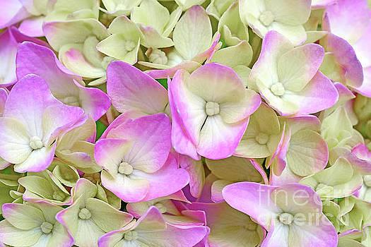 Regina Geoghan - Creamy Pink Hydrangea Blossom