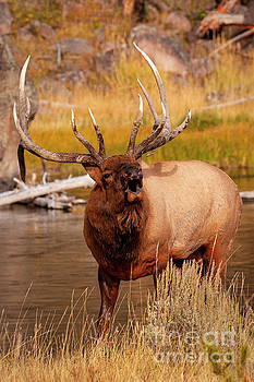 Creekside Bull by Aaron Whittemore