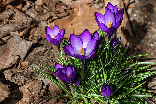 Crocus in Spring 2019 I by Jeff Severson