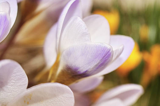 Crocus by Whitney Goodey