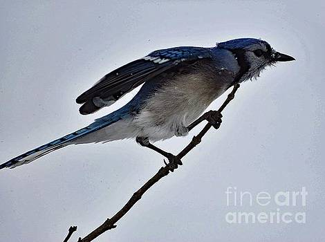 Cindy Treger - Blue Jay In Crouched Position