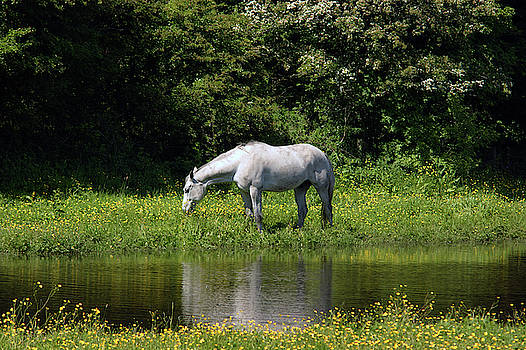 CUMBRIA. Ulverston. Horse By The Canal by Lachlan Main