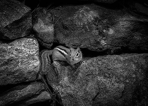 Curious Baby Chipmunk by Bob Orsillo
