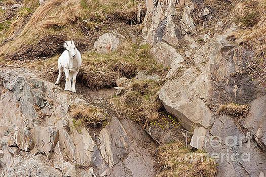 Curious Ewe by Bernita Boyse