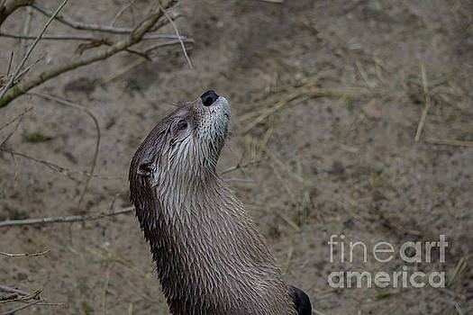 Curious Otter by Linda Howes