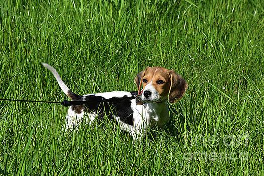 Cute Beagle Puppy Looking Back Over His SHoulder by DejaVu Designs