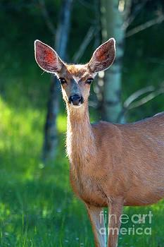 Cute Doe Mule Deer by Steve Krull