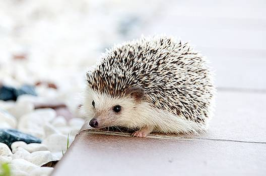 Cute hedgeog by Top Wallpapers