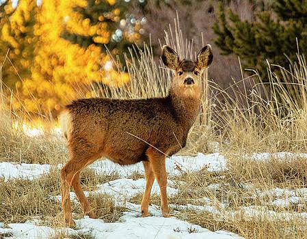 Cute Mule Deer Doe by Steve Krull