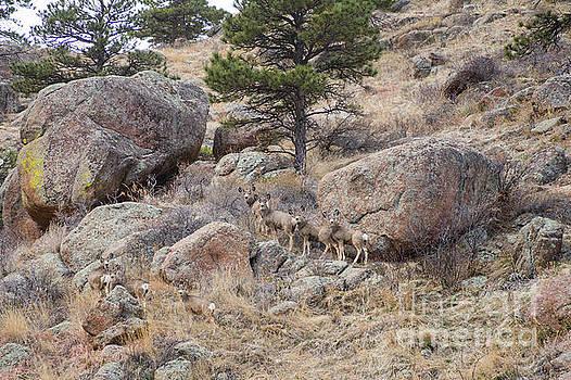 Cute Mule Deer Herd on the Foothills by James BO Insogna