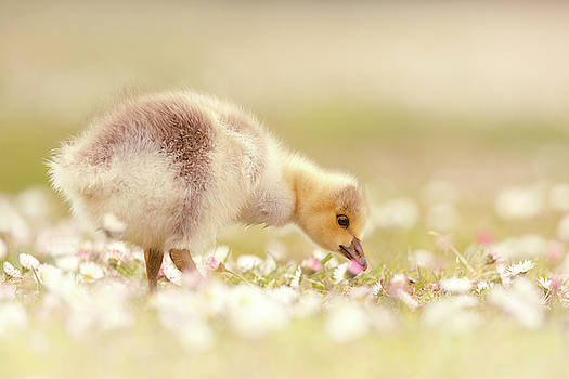 Cute Overload Series - Grazing Gosling by Roeselien Raimond