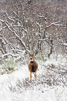 Steve Krull - Cute snowy Colorado doe