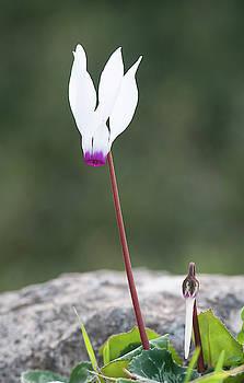 Cyclamen persicum wild flower by Michalakis Ppalis