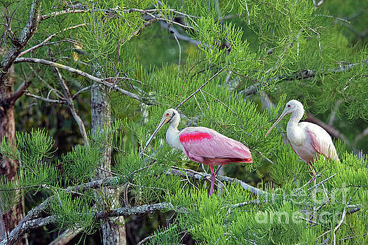 Cypress Tree Spoonbills by Natural Focal Point Photography