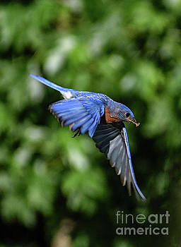 Daddy Is Coming - Eastern Bluebird by Cindy Treger