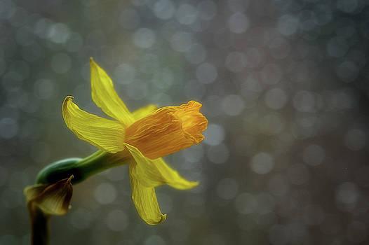 Daffodil 1 by Su Buehler