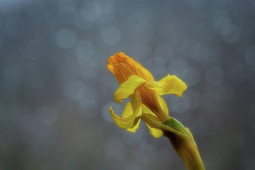 Daffodil 2 by Su Buehler