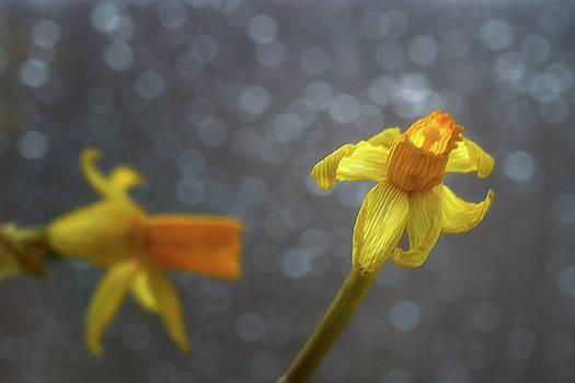 Daffodil 3 by Su Buehler
