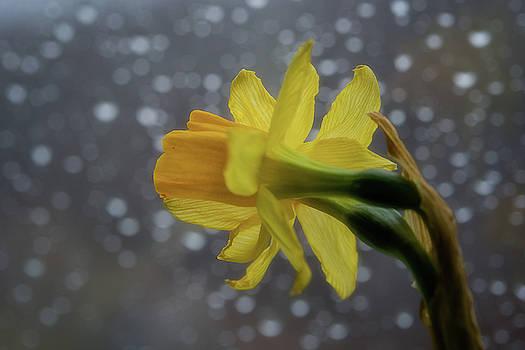Daffodil 4 by Su Buehler