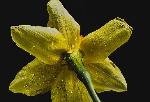 Daffodil and Water Drops by Keith Smith