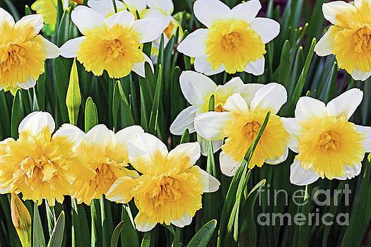 Regina Geoghan - Daffodil Garden Cluster