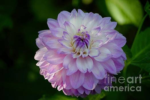 Dahlia Bloom by Jeannie Rhode