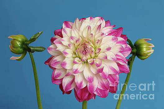 Dahlia blue background by Peter Skelton