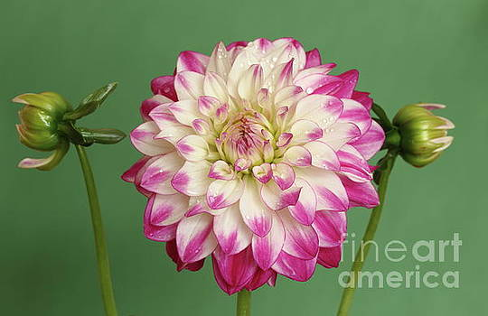 Dahlia  green background by Peter Skelton