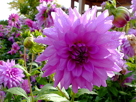 Dahlia in Closeup by Chris Gill